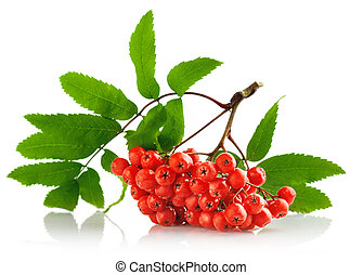 ashberry cluster with red berry and green leaf isolated on...
