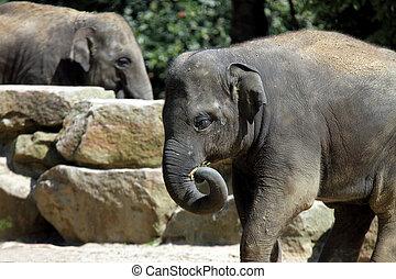 Asian elephant - Baby of Asian elephant walking during sunny...