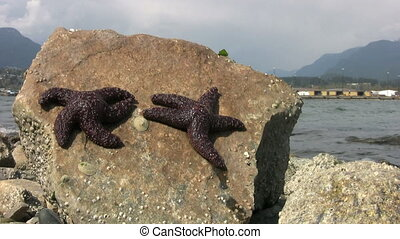Purple Starfish Baking In The Sun - A pair of purple...