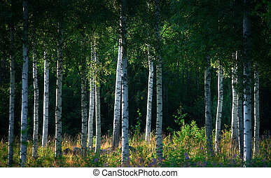 Birch trees in summer landscape