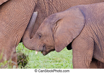 African elephants loxodonta africana at the Addo Elephant...