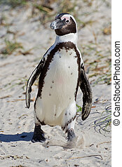 African penguin (spheniscus demersus) at the Boulders colony...