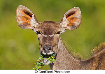 Greater Kudu (tragelaphus strepsiceros) at Addo Elephant...