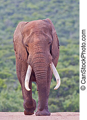African elephant (loxodonta africana) at the Addo Elephant...