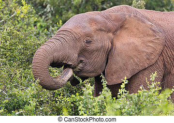 African elephant loxodonta africana at the Addo Elephant...