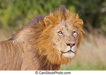 Male lion (leo panthera) at the Addo Elephant Park in South...