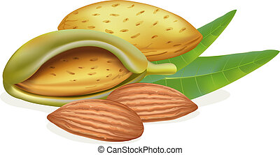 Ripe almonds with leaves Vector illustration on white...