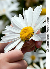 Daisy Love Game - A child playing she loves me, she loves me...