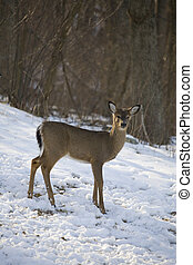 winter doe - whitetail deer near a snow covered forest in...