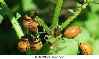 colorado beetle larva (leptinotarsa decemlineata) -...