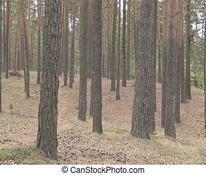 Pine forest. A lot of pines