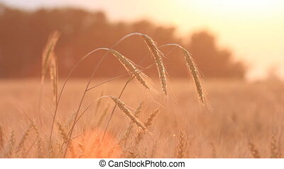 Wheat on breeze - countryside landscape background