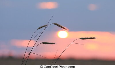 Closeup of wheat ears on breeze, red sunset sky -...