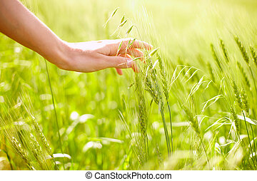 Hand over wheat - Horizontal image of human hand touching...