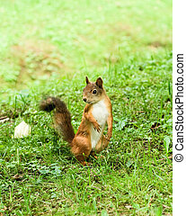 Standing squirrel - Little curious squirrel at the green...