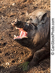 Big swine with open mouth - Dangerous symbol of swine flu -...