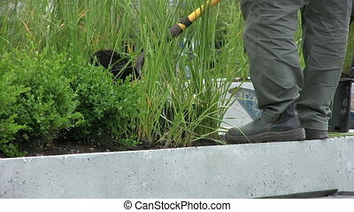 Man Planting Plants - A worker planting plants in a sidewalk...
