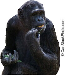 Moody and pensive gorilla isolated on a white background...