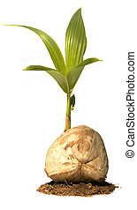 Coconut Tree (Young) in Earth Isolated