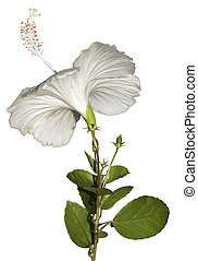White Hibiscus with Foliage Iisolated with Clipping Path