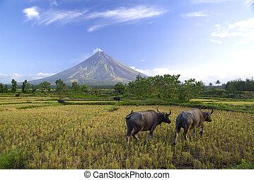 buffles, sous, Mayon, volcan
