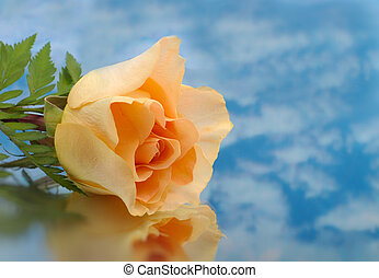 Macro peach Rose very shallow depth of field with clouds