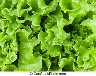 fresh lettuce leaves closeup