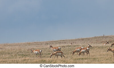 Pronghorn Herd - Herd pronghorn with does on plains of...