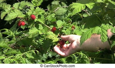 Picking Berries - A man stops to pick ripe raspberries along...