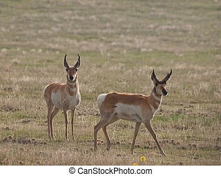 Pronghorn Herd - Two buck pronghorns on plains of Cheyenne,...