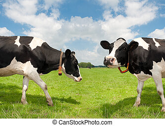 frisian cows - two frisian cows in a dutch meadow