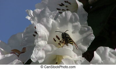 Wasp Taking Off From A Flower - A wasp takes off from a...