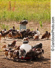 Chicken Farm - Chickens at the chicken farm in Fort Collins,...