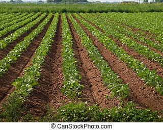 agrícola, tierra, fila, cosechas
