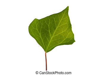 ivy green leaf isolated on white background