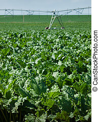 Agricultural land with row crops