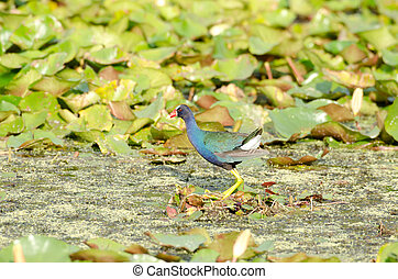 American Purple Gallinule searches for food in a Florida...
