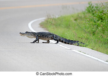 Large american alligator in the road - Large american...