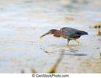 Green heron in Florida swamp - A green heron looks for a...