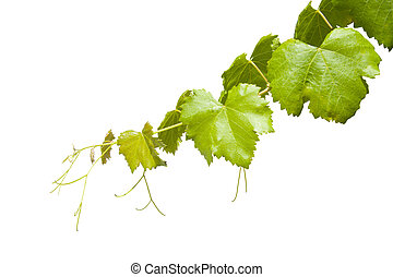 Vineyard branch isolated on white background