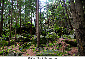 pine tree forest with moss over rocks