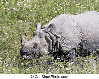 Greater One-horned Asian Rhino - An Indian rhino, or greater...
