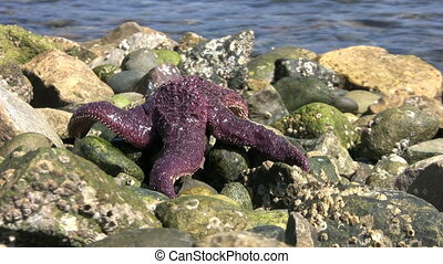 Wasp On A Purple Starfish - A wasp flies around a pretty...
