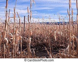 Crows in corn field