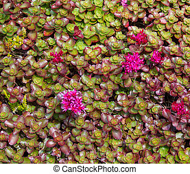 Sedum plants in the garden