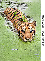 Tiger bath - Large bengal tiger taking a swim in marshy...