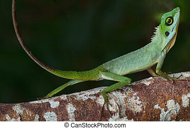 Small chameleon on a tree truck in the small island of Pulau...