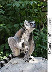 Lemur Catta - Lemur catta sitting staring on a stone