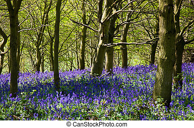 Bluebell Wood - bluebells in a wood