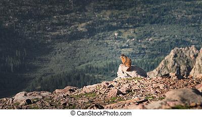 Marmot - A marmot in the Colorado Cockies.